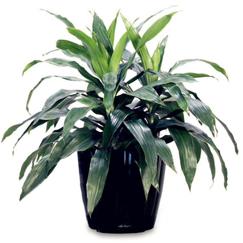 Egrow 10 Pcs/PackDracaena Seeds Sago Cycas Bonsai Balcony Potted Dracaena For Home and Garden Decoartion from Egrow