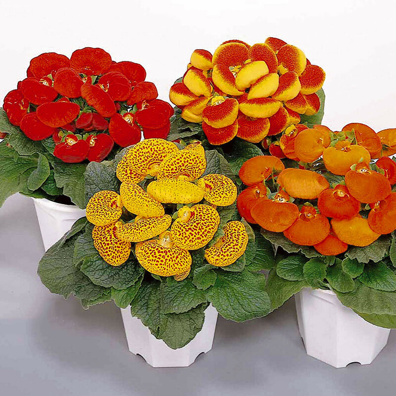 Egrow 100 Pcs/Pack Calceolaria herbeohybrida Seeds Bonsai flower for Home Garden plant from Egrow