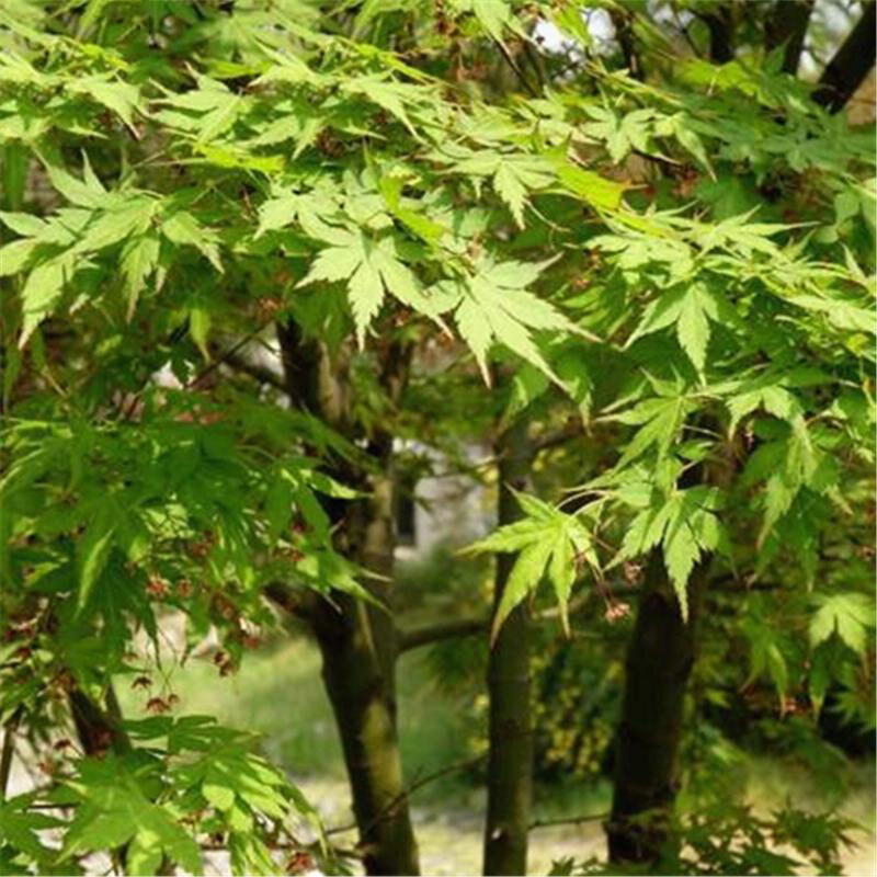 Egrow 100 Pcs/Pack Green Maple Tree Seeds Green Leaf Maple Tree Semente Plant Palmatum Tree For Chinese Maple from Egrow