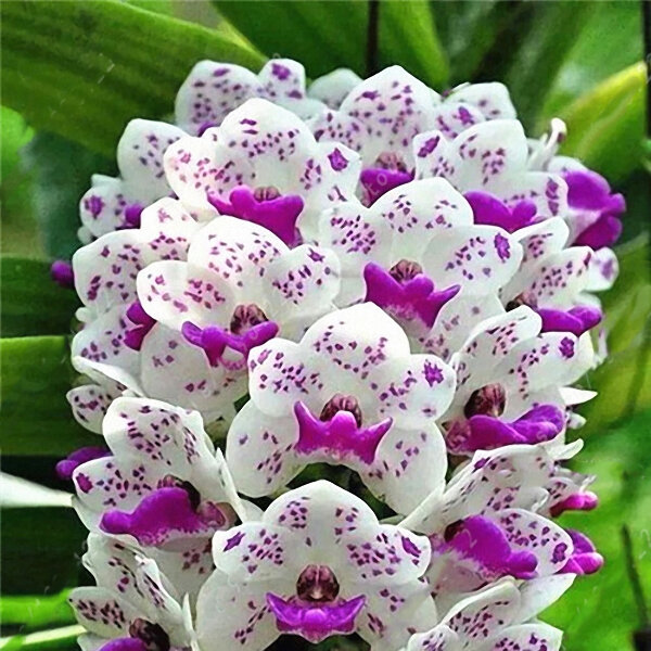 Egrow 100Pcs/Bag Cymbidium Orchid Seeds Silk Butterfly Orchid Artificial Flower Wedding Decoration from Egrow