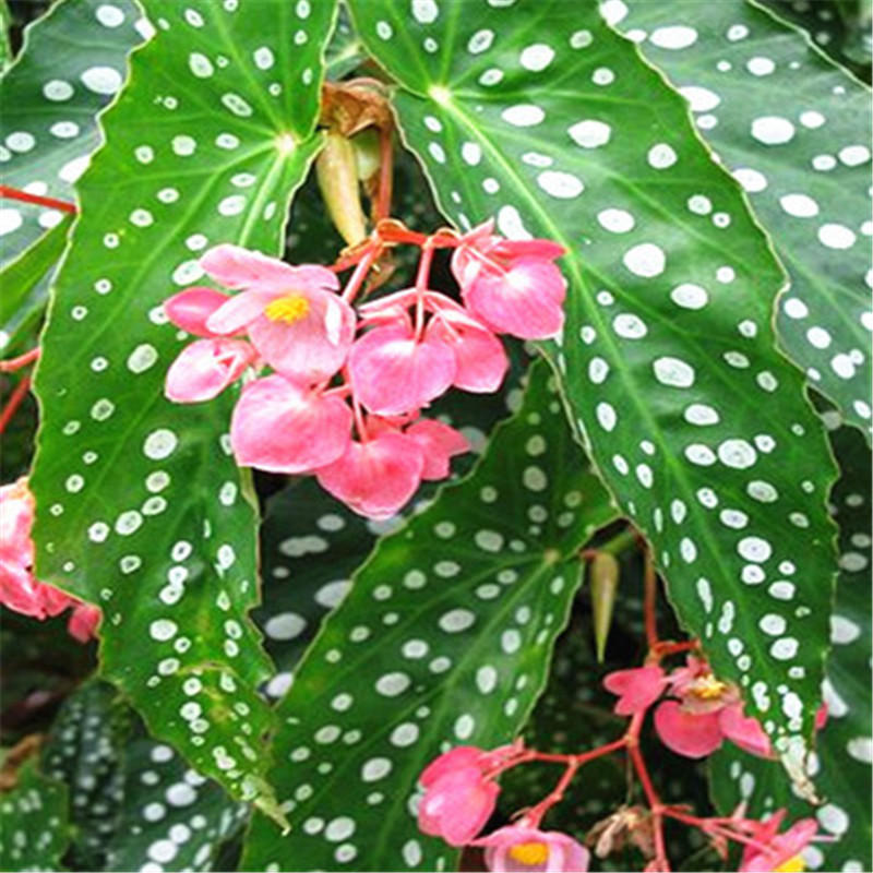 Egrow 100Pcs/Pack Begonia Seeds Begonia Bonsai Flower Plant Garden Terrace Begonia Planta Potted Family Garden Perennial from Egrow
