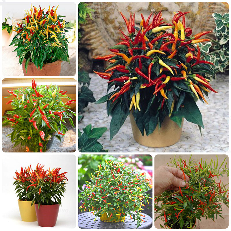 Egrow 100Pcs/Pack Pepper Seeds Hot Chilli Pepper Capsicum Vegetable Bonsai Plants for Home And Garden from Egrow
