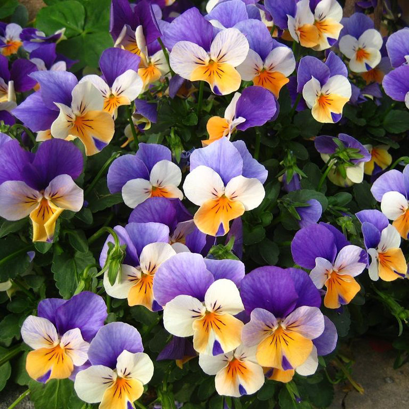 Egrow 100Pcs Pansy Seeds Mix Color Wavy Tri Color Flower Seed Bonsai Potted from Egrow