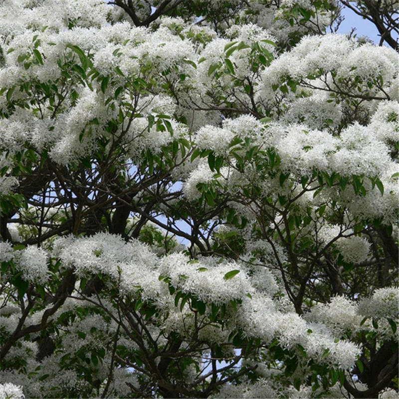 Egrow 15 Pcs/Pack Tassel Seeds Tassel Tree Plant Chionanthus Retusus Garden Seeds from Egrow