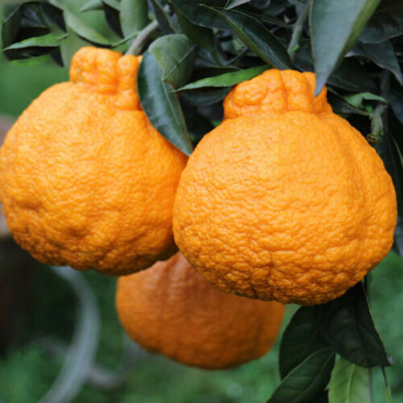 Egrow 20 Pcs/Pack Orange Seeds Ugli Fruit Organic Trees for Home Garden Plant from Egrow