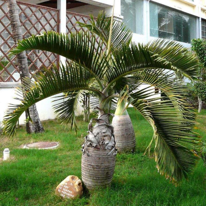 Egrow 20 Pcs Exotic Bottle Palm Seeds Bonsai Tropical Ornamental Tree Plant Seeds Garden Planting from Egrow