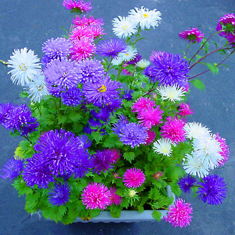 Egrow 200Pcs/Pack Chinese Aster Bonsai Seeds Summer Big Flowers Chinese Chrysanthemum for Home Gaden Plant from Egrow