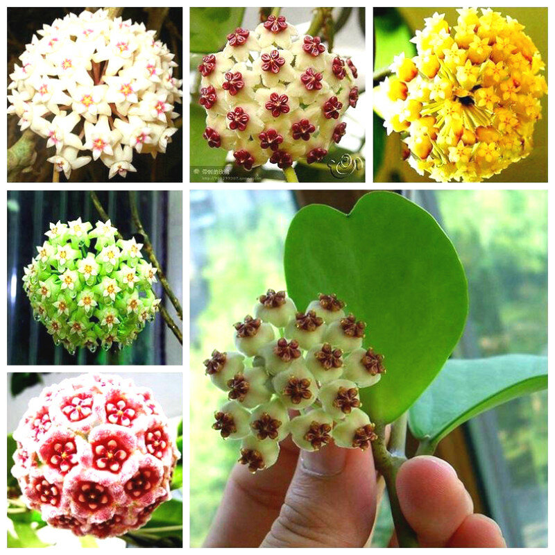 Egrow 20Pcs/Pack Hoya Seeds Potted Seed Hoya Carnosa Flower Seed Garden Plants from Egrow