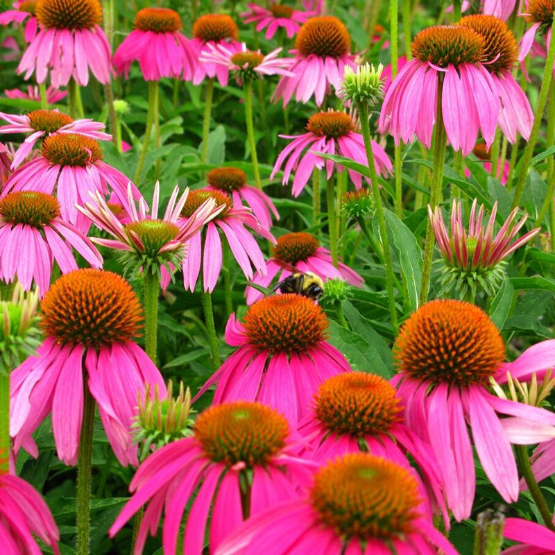 Egrow 300 Pcs/Pack Echinacea Seeds Purple Coneflowe Bonsai for Home Garden Plant from Egrow