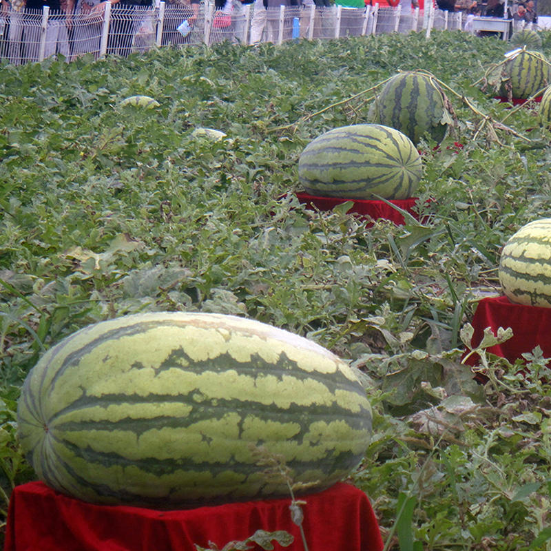 Egrow 30Pcs Giant Watermelon Seeds Black Tyrant King Super Sweet Watermelon Seeds Garden Fruit from Egrow