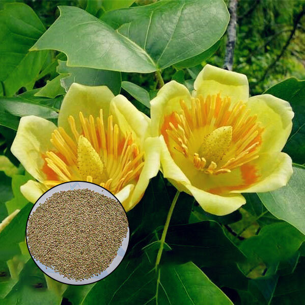 Egrow 50Pcs/Bag Magnoliaceae Flower Seeds Ornamental Plant Liriodendron Chinense Bonsai Seeds from Egrow