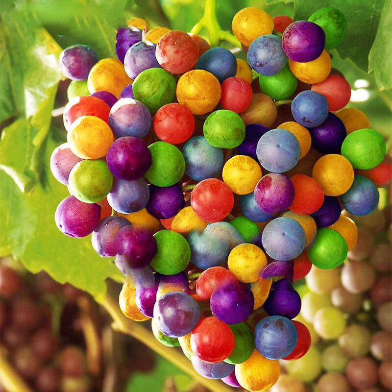 Egrow 50Pcs/Pack Grape Seeds Rainbow Colorful Garden Fruit Plants Sweet Kyoho Grape Seeds from Egrow