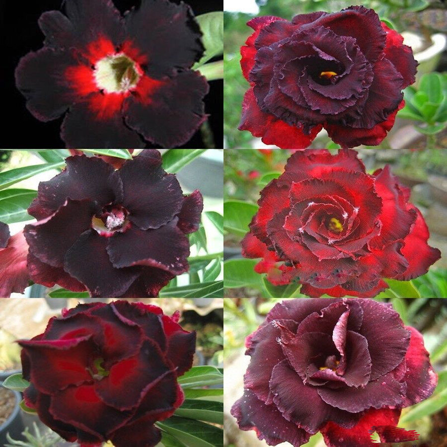Egrow 5Pcs/Pack Brown Black Desert Rose Seeds Balcony Bonsai Ornamental Flowers Adenium Plants from Egrow