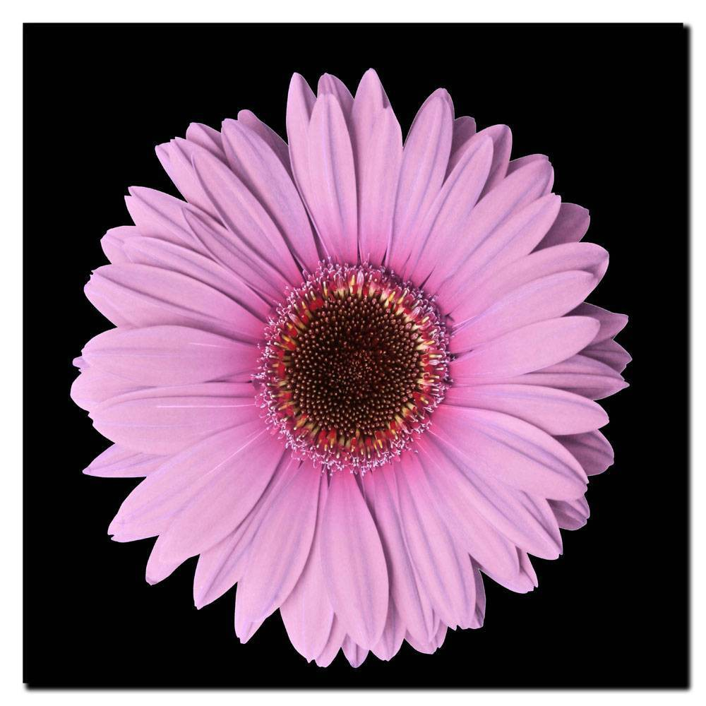 "14"" x 14"" Pink Gerber Daisy by Anonymous - Trademark Fine Art from Trademark Global"